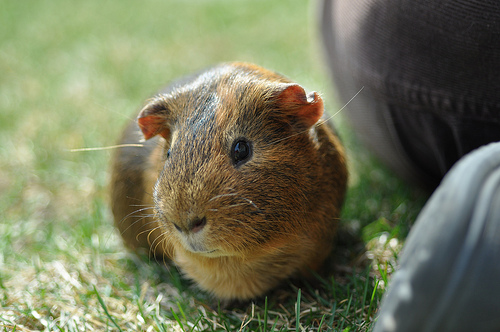 Gingie the guinea pig